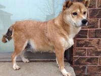 mimi sweet female shiba inu. about 4 years old. she's
