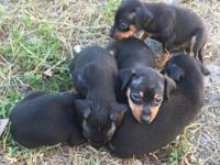 5 female puppies need new homes. They do not have shots