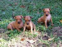 Two beautiful small red males available, vet checked &