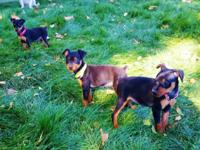 4 Min Pin puppies for sale. Black and tan. 8 weeks old,