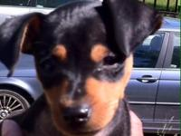 1 Black and Tan female. 1 chocolate male. 1 Black and
