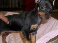 ONE LAST MALE MIN PIN PUPPY. We have a MALE min pin