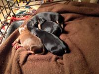 All our dogs are AKC Registered Min Pins. Our pups are