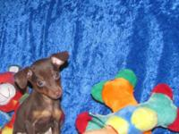Miniature Pinscher Pups Male & Female, CKC Registered,