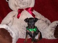 Miniature Pinscher Pups, Male & Female, Various Colors,