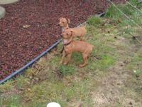 6 min pin puppies, born October 7 & 12, both male and