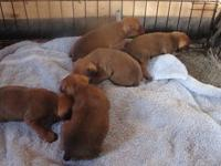 9 min pin puppies, born October 7 & 12, both male and