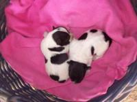 Min Schnauzer Pups ( 2 females), black/white parti,