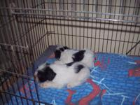 Pup; ACA/CKC reg.,$400, black/white parti, ready soon.