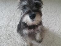 4 month old Min Schnauzer puppy for sale. Very smart,