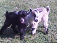 I HAVE PYGMY AND NIGERIAN DWARF GOATS FOR SALE. BABIES