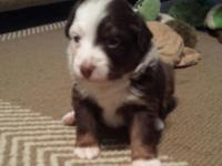 7 new Australian Shepherds puppies born on 8/9. ASDR