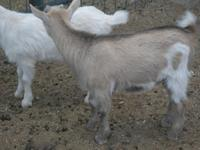 For Sale Two minature billy goats ready to go $125.00