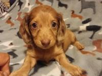 Dachshund female puppy, Brown dapple long hair, ACA