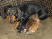 Puppies born March 20, 2015. Will be ready with health