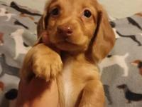 Dachshund puppy male miniature, dob 8-26-2015 light