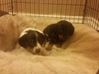 Purebread minature dachshund puppies looking for a