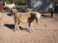 Miniature Horses; AMHA/ANHR eligible Fillies and colts,