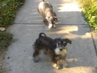 Mini schnauzer pups, 1 girl, 1 boy, girl is zoey she is