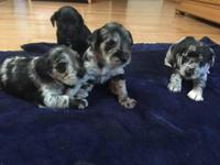 7 week old rare blue Merle Schnauzer female, Merle male