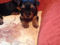 4 lovely male/female yorkie puppies they are