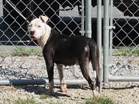 Ming's story MING SHELTER BREED: PIT MIX FEMALE, 1 YR,