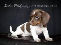 Mini AKC Dachshund male LITTLE REESE IS A BEAUTIFUL