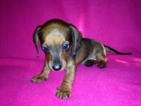 This little red Dachshund female is the only one left