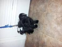 All black yorkie poodles. Shes a female named Mimi.