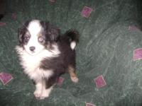 Adorable Toy Aussie Puppies available now. Black Tri