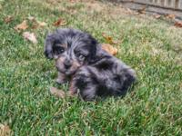 Whiskey is a male blue merle mini aussiedoodle puppy