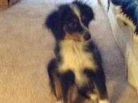 Black / white / red Tri mini Aussie 12 weeks has