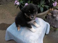 Adorable outgoing, black tri female mini aussie with