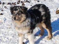 Registered MASCA Mini Aussie guy. Raising top quality