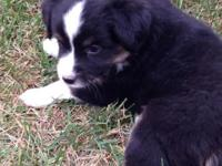 Black tri Aussie boy, comes with NSDR application, very