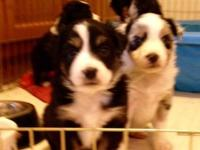 New Litter of Mini Aussie Puppies are due Sept. 1st.