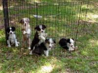 Beautiful puppies, 9 weeks. Tails docked, dewclaws