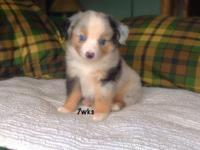 We have 3 puppies left. 1 blue Merle male 1 blk tri
