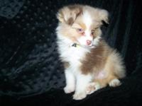 """Rocky"" is a Red Merle Male mini aussie. He was born on"