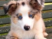 BEAUTIFUL call: (618) 780-2272. Blue eyed, BLUE Merle