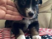 ADORABLE ... American Stock Dog Registered, Mini Aussie