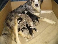 Gorgeous litter of Miniature Australian Shepherd