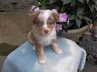 Adorable blue eyed, red merle, male Miniature