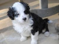 Adorable Miniature AussieDoodle Puppies. Born 4/22/12