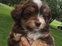 i have six beautiful Mini Aussiedoodle puppies for