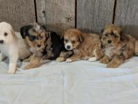 I have 4 mini AussieDoodle looking for their forever