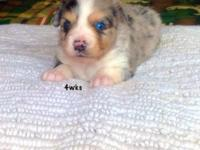 We have 3 mini aussies puppies that will be ready