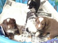 I have 4 Aussie pups. Blue Merle is the girl. She has