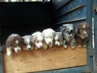 Fluffy, friendly, mini Australian Shepherd puppies born
