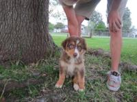 BEAUTIFUL MINI Australian Shepherd, Male, Merle, 1 yr.